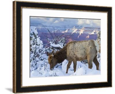 Elk (Cervus Canadensis) (Wapiti), Grand Canyon Nat'l Park, UNESCO World Heritage Site, Arizona, USA-Michael Nolan-Framed Photographic Print