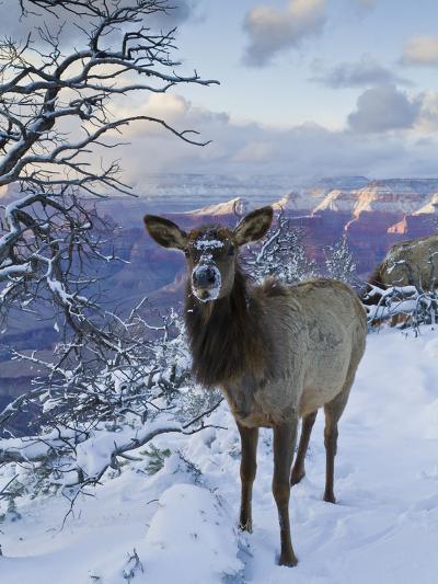 Elk (Cervus Canadensis) (Wapiti), Grand Canyon Nat'l Park, UNESCO World Heritage Site, Arizona, USA-Michael Nolan-Photographic Print