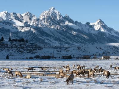Elk (Cervus Canadensis) with Antlers, Snow-Covered Teton Mountains in the Background, Elk Wildlife -Kimberly Walker-Photographic Print