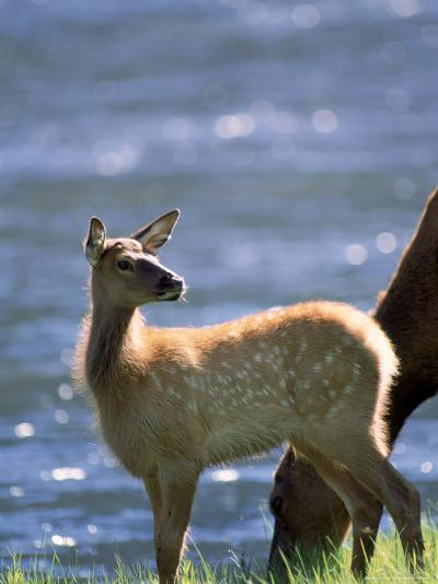 Elk, Cervus Elaphus, Yellowstone National Park, WY-Kyle Krause-Photographic Print