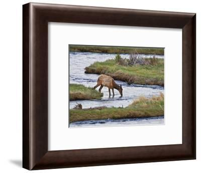 Elk Drinking in Stream, Rocky Mountain National Park, Colorado, USA-Larry Ditto-Framed Photographic Print