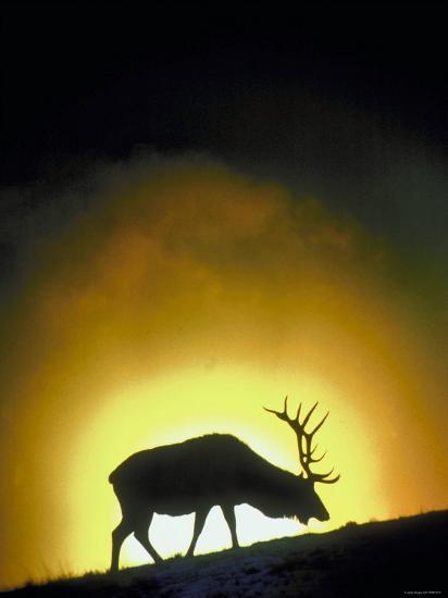 Elk Grazing in Field with Sun Setting Behind--Photographic Print