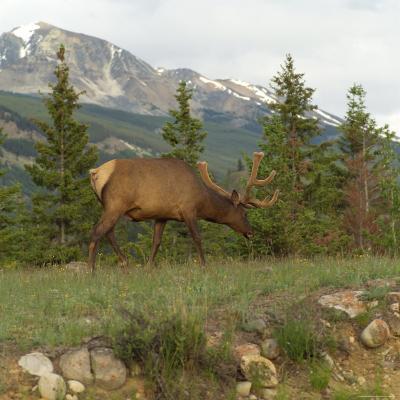 Elk Grazing on Grass, Jasper National Park, Canada-Keith Levit-Photographic Print