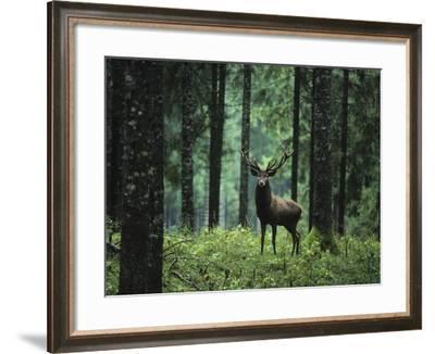 Elk in Forest-sirtravelalot-Framed Photographic Print