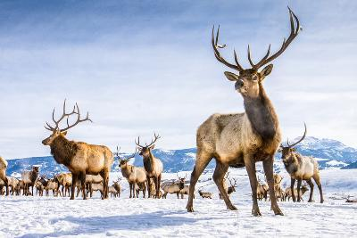 Elk in the 24,700-Acre National Elk Refuge Near Jackson, Wyoming-Charlie James-Photographic Print