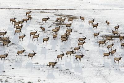 https://imgc.artprintimages.com/img/print/elk-in-the-24-700-acre-national-elk-refuge-near-jackson-wyoming_u-l-q13hvgf0.jpg?p=0