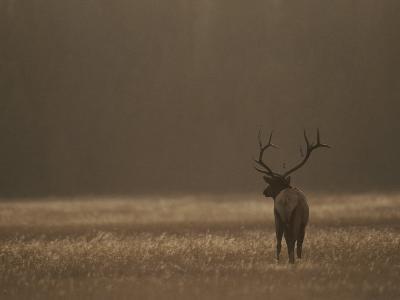 Elk or Wapiti Bull at Sunset, Yellowstone National Park, Wyoming-Raymond Gehman-Photographic Print