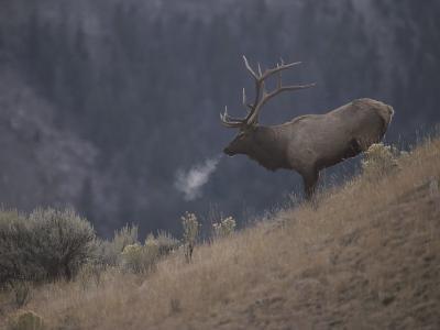 Elk or Wapiti Bull on a Hillside in Yellowstone National Park-Raymond Gehman-Photographic Print