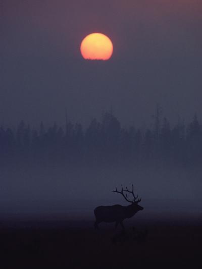 Elk or Wapiti (Cervus Elaphus) Silhouetted on Smoky Horizon, Yellowstone, Wyoming-Michael S^ Quinton-Photographic Print