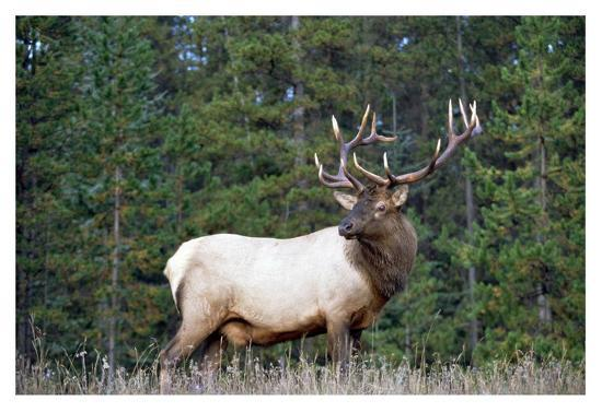 Elk or Wapiti male portrait, North America-Tim Fitzharris-Art Print