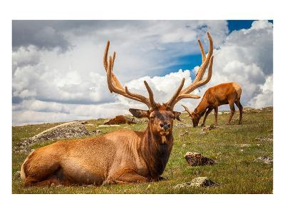 Elk Stag and Cow on a Meadow--Art Print