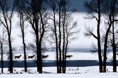Elk Through Deep Snow in Single File Past Bare Cottonwood Trees Along the Lamar River-Tom Murphy-Photographic Print