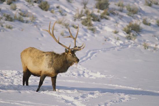 Elk-DLILLC-Photographic Print