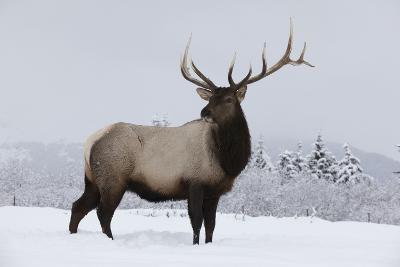 Elk--Photographic Print