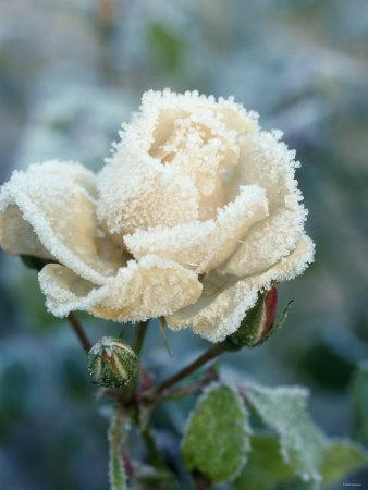 White Rose with Ice Crystals