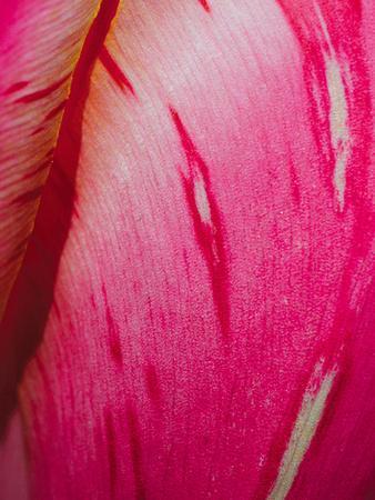 Radiant Pink Tulip II