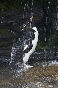 Falkland Islands. Rockhopper Penguin Bathing in Waterfall by Ellen Anon