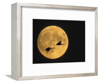 Sandhill Cranes Flying in Front of Full Moon, Bosque Del Apache National Wildlife Reserve