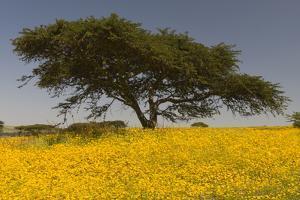 Africa, Ethiopian Highlands, Western Amhara. Meskel Flowers in Full Bloom by Ellen Goff