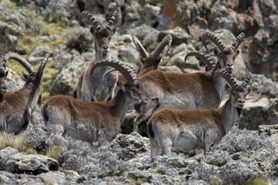 Africa, Ethiopian Highlands, Western Amhara, Simien Mountains National Park. Group of Walia Ibex