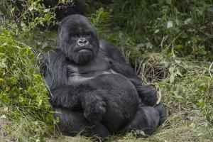 Africa, Rwanda, Volcanoes National Park. Blackback gorilla watching us. by Ellen Goff