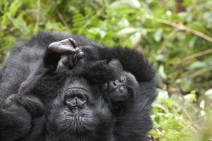 Africa, Rwanda, Volcanoes National Park. Female mountain gorilla cuddling its young. by Ellen Goff