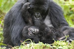 Africa, Rwanda, Volcanoes National Park. Female mountain gorilla with her young. by Ellen Goff