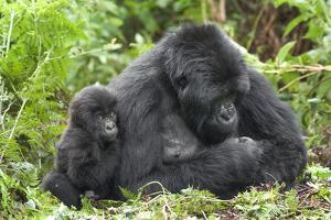 Africa, Rwanda, Volcanoes National Park. Female mountain gorilla with young by her side. by Ellen Goff