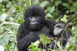 Africa, Rwanda, Volcanoes National Park. Juvenile mountain gorilla watching us curiously. by Ellen Goff