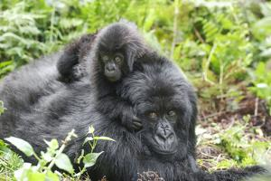 Africa, Rwanda, Volcanoes National Park. Mother mountain gorilla with its young playing on its back by Ellen Goff