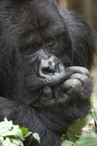 Africa, Rwanda, Volcanoes National Park. Portrait of a silverback mountain gorilla. by Ellen Goff