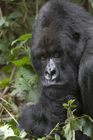 Africa, Rwanda, Volcanoes National Park. Portrait of a silverback mountain gorilla.