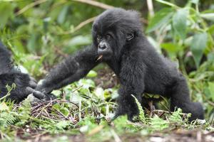 Africa, Rwanda, Volcanoes National Park. Young mountain gorilla holding its mother's hand. by Ellen Goff