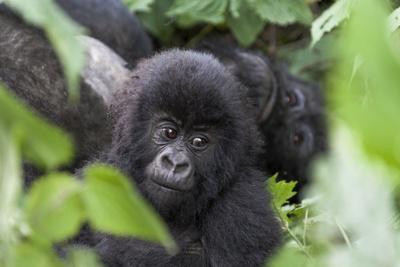 Africa, Rwanda, Volcanoes National Park. Young mountain gorilla portrait.
