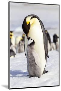 Antarctica, Snow Hill. An emperor penguin chick interacts with its parent, hoping to get fed. by Ellen Goff