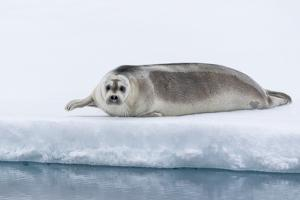 Arctic, north of Svalbard. A portrait of a young bearded seal hauled out on the pack ice. by Ellen Goff