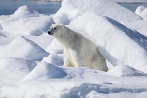 Arctic, Norway, Svalbard, Spitsbergen, Pack Ice, Polar Bear Polar Bear Rubbing on Ice by Ellen Goff