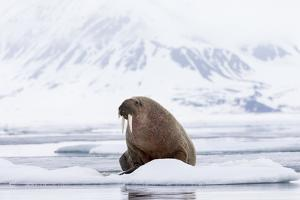 Arctic, Norway, Svalbard, Spitsbergen, Pack Ice, Walrus Walrus on Ice Floes by Ellen Goff