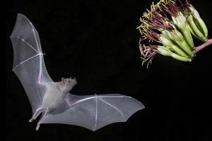 Arizona, Green Valley, Lesser Long-Nosed Bat Drinking Nectar from Agave Blossom by Ellen Goff