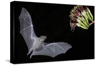 Arizona, Green Valley, Lesser Long-Nosed Bat Drinking Nectar from Agave Blossom