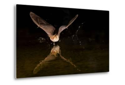 Arizona, Pallid Bat Drinking