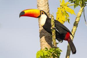 Brazil, Mato Grosso, the Pantanal. a Toco Toucan in a Papaya Tree by Ellen Goff