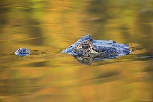 Brazil, Mato Grosso, the Pantanal, Black Caiman in Reflective Water by Ellen Goff