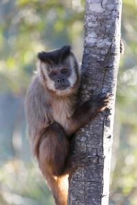 Brazil, Mato Grosso, the Pantanal. Brown Capuchin Monkey on a Tree by Ellen Goff
