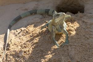 Brazil, Mato Grosso, the Pantanal, Green Iguana Digging Nest Along the River Bank by Ellen Goff