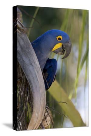 Brazil, Mato Grosso, the Pantanal, Hyacinth Macaw on Palm Branch
