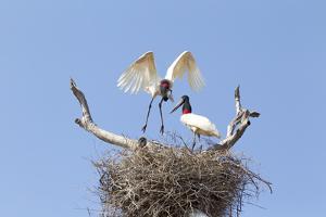 Brazil, Mato Grosso, the Pantanal. Jabiru Flying into the Nest by Ellen Goff
