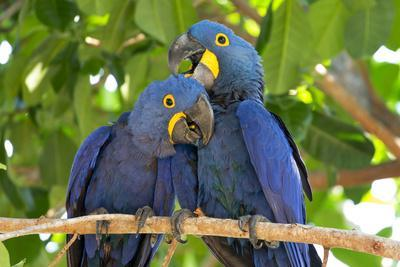 Brazil, Mato Grosso, the Pantanal. Pair of Hyacinth Macaws Cuddling