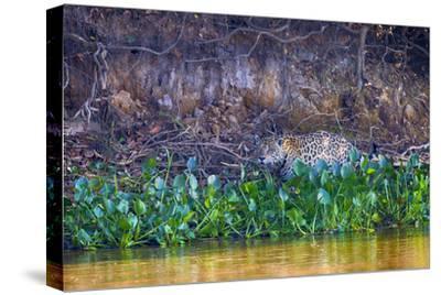 Brazil, Mato Grosso, the Pantanal Rio Cuiaba, Jaguar Among Water Hyacinth