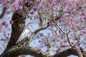 Brazil, Mato Grosso, the Pantanal, Transpantaneira Highway, Great Egret, Ipei Tree by Ellen Goff